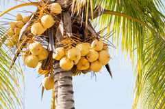 Ejecución amarilla del manojo de los cocos en árbol Imagenes de archivo