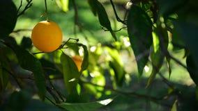 Ejecución anaranjada en rama