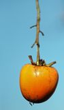Ejecución anaranjada madura del caqui del Diospyros en la rama del árbol adentro Foto de archivo