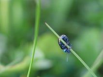 Ejecución azul del insecto en una cuchilla de la hierba Fotografía de archivo