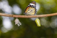 Ejecución común de la mariposa del tigre en la ramita con la crisálida y la cáscara fotografía de archivo libre de regalías
