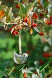 Ejecución de cristal del pájaro en un árbol con las bayas rojas Foto de archivo