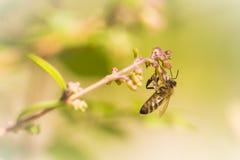 Ejecución de la abeja de la miel en una sola flor Foto de archivo