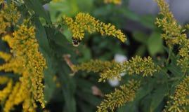 Ejecución de la abeja en las floraciones de oro de la barra Fotografía de archivo libre de regalías