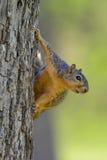 Ejecución de la ardilla de Fox en el lado del árbol que mira hacia divertido cómico derecho Fotos de archivo