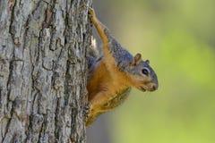 Ejecución de la ardilla de Fox en el lado del árbol que mira hacia la orientación divertida cómica correcta del paisaje Fotos de archivo