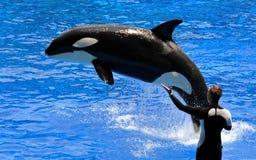 Ejecución de la ballena de asesino (orca) y del amaestrador Fotografía de archivo libre de regalías