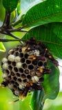 Ejecución de la colmena de la abeja en el árbol con las hojas verdes Imagen de archivo libre de regalías