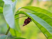 Ejecución de la crisálida de la mariposa de monarca en rama del milkweed Foto de archivo libre de regalías