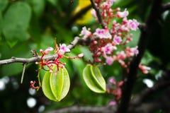 Ejecución de la fruta de la manzana de estrella con la flor en el árbol Foto de archivo libre de regalías