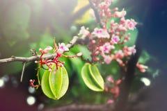 Ejecución de la fruta de la manzana de estrella con la flor en el árbol con el effe ligero Imagen de archivo libre de regalías