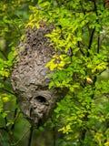 Ejecución de la jerarquía del avispón en árbol Fotografía de archivo
