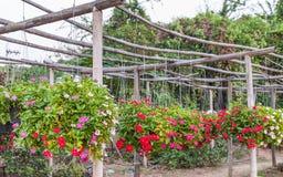 Ejecución de la petunia en cestas Foto de archivo