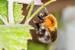 Ejecución del abejorro en una pierna Fotos de archivo