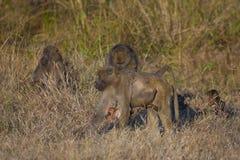 Ejecución del babuino del bebé de la mamá de forraje Imágenes de archivo libres de regalías