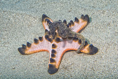 Ejecución del caballo del Mar Negro en la estrella de mar rosada Foto de archivo