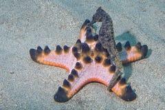 Ejecución del caballo del Mar Negro en la estrella de mar rosada Fotos de archivo