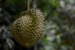 Ejecución del Durian en árbol y las hojas Fotografía de archivo