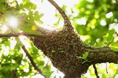 Ejecución del enjambre de la abeja en el árbol en naturaleza Imagen de archivo