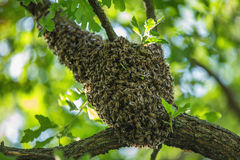 Ejecución del enjambre de la abeja en el árbol en naturaleza Imagen de archivo libre de regalías