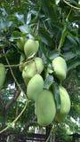 Ejecución del mango en árbol Fotos de archivo libres de regalías
