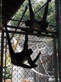 Ejecución del mono de araña imagenes de archivo