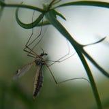 Ejecución del mosquito en una hierba en fondo borroso Fotografía de archivo