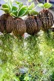 Ejecución del musgo español Fotos de archivo