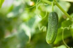 Ejecución del pepino en una rama en el jardín Fotos de archivo libres de regalías