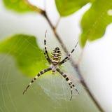 Ejecución grande de la araña en su Web Imagen de archivo
