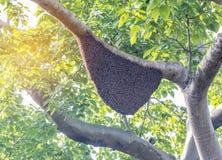 Ejecución grande natural de la colmena de la abeja de la miel en árbol Imágenes de archivo libres de regalías