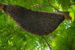 Ejecución natural grande de la colmena en un árbol Foto de archivo