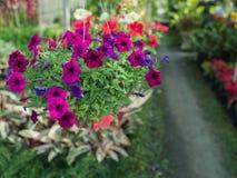 Ejecución púrpura de la flor de la petunia Imagenes de archivo