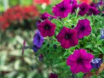 Ejecución púrpura de la flor de la petunia Foto de archivo