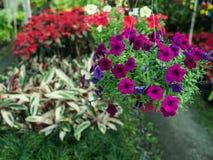 Ejecución púrpura de la flor de la petunia Imagen de archivo libre de regalías