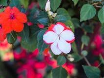 Ejecución roja blanca de la flor de la petunia Imagenes de archivo