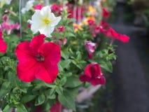 Ejecución roja de la flor de la petunia Fotos de archivo