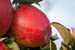 Ejecución roja y madura de la manzana de una rama de árbol Foto de archivo
