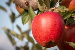 Ejecución roja y madura de la manzana de una rama de árbol Imagen de archivo
