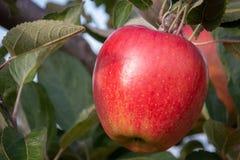 Ejecución roja y madura de la manzana de una rama de árbol Imagenes de archivo
