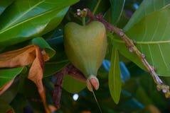 Ejecución verde inusual de la fruta en el árbol tailandia Fotografía de archivo