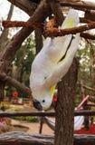 Ejecución blanca del loro de la rama Imagen de archivo libre de regalías