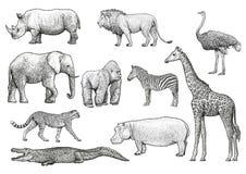 Ejemplo africano de los animales, dibujo, grabado, tinta, línea arte, vector ilustración del vector