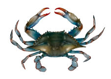 Ejemplo aislado crudo del cangrejo azul Imagen de archivo