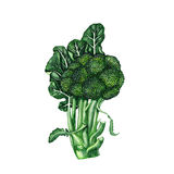Ejemplo aislado del bróculi fresco Imagen de archivo