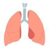 Ejemplo anatómico de los pulmones Imagen de archivo libre de regalías
