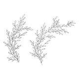 Ejemplo apacible del vector de ramas dibujadas mano Ejemplo botánico monocromático del vector del vintage Boda del vector Imagen de archivo