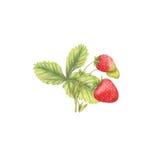 Ejemplo botánico Fotografía de archivo