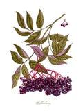 Ejemplo botánico de la acuarela de la baya del saúco Fotos de archivo