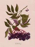 Ejemplo botánico de la acuarela de la baya del saúco Foto de archivo